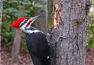 Pileated woodpecker on a softwood tree.